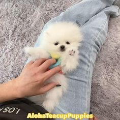 Pomeranian For Sale, White Pomeranian Puppies, Teacup Puppies For Sale, Teacup Pomeranian, White Teddy Bear, 5 Minute Crafts Videos, Kinds Of Dogs, Puppy Party, Puppy Chow