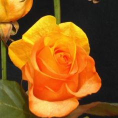 Yellow-Orange Rainbow Roses 200 Stems