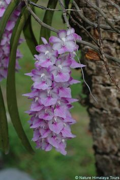 Foxtail Orchid | Photo Foxtail Orchid
