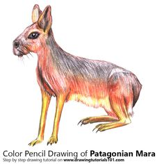 Patagonian Mara with Color Pencils [Time Lapse]