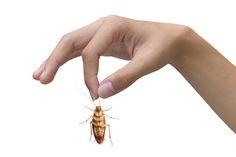 Les blattes (cafards) sont des blattoptères envahisseuses. Dès lors qu'elles se sentent bien dans un environnement, il est difficile de les déloger. D'autant plus, qu'elles se reproduisent à une vitesse grand V. Découvrez trois astuces miraculeuses !
