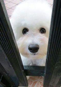 Peekaboo, I see you lil' Bichon!