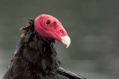 Turkey vulture (Cathartes aura), also known in some North American regions as the turkey buzzard (or just buzzard), and in some areas of the Caribbean as the John crow or carrion crow, is the most widespread of the New World vultures. Scavenger Birds, Animal Antics, Big Bird, Vulture, Birds Of Prey, Fauna, Raptors, Nature Animals, Pixies