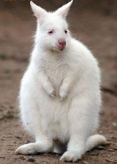 Baby albino kangaroo