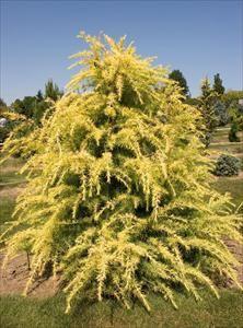 Gold Cone Deodar cedar - Cedrus deodara 'Gold Cone' - PNW Plants