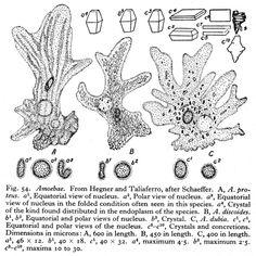 vorticella protozoa