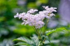 new meadowsweet rosaceae form of the gloss japan Gout Remedies, Herbal Remedies, Drink Delivery, How To Relieve Heartburn, Organic Herbal Tea, Immune System Boosters, Natural Herbs, Chai, Starters