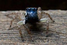 Descoberta uma nova espécie de aranha saltadora: ela é azul e microscópica - GreenMe Brasil