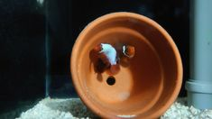 Thunder and Lightning Maroon Clownfish Marine Fish Reef Aquarium breeding Pair Marine Aquarium Fish, Live Aquarium Fish, Marine Fish, Reef Aquarium, Saltwater Aquarium, Saltwater Fishing, Fish For Sale, Fish Stock, Clownfish