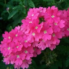 Attention grabbing pink verbena ~ Lanai™ Verbena is simply just the best trailing verbena on the market. It has excellent resistance to powdery mildew. Lanai™ flowers early and is free flowering from tip to crown.