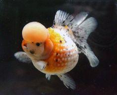 Wyniki Szukania w Grafice Google dla http://www.petgoldfish.net/file/crown-pearlscale-goldfish-2.jpg