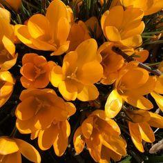 Ihanaa keväistä lauantaita!  #markkinat #leppävaara #krookus #kevät #spring #aurinko #sun