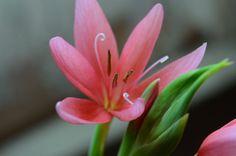 moerasgladiool Hesperantha coccinea