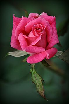 Bright pink rose