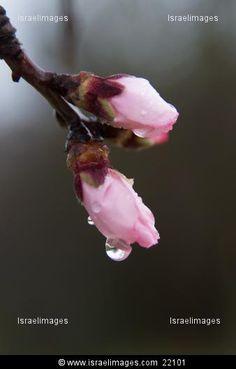 Almond Blossom Israel