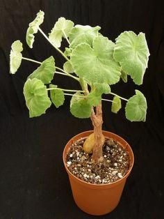 CAUDICIFORM Pelargonium cotyledonis