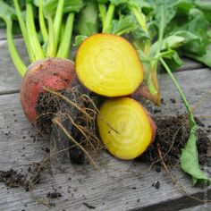 Beetroot Burpees Golden is an unusual beetroot in that the roots are orange/yellow in colour unlike normal red beetroot. It does not stain or bleed like the red ones and it goes a golden colour when cooked.