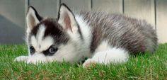 Miniature Husky