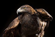 Golden Eagle by Raymond Haddad on National Geographic Animals, National Geographic Photography, Harpy Eagle, Bald Eagle, Bird Barn, Barn Owls, Bird Identification, Eagle Bird, Garden Animals