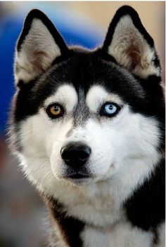 Wonderful All About The Siberian Husky Ideas. Prodigious All About The Siberian Husky Ideas. Baby Dogs, Pet Dogs, Dogs And Puppies, Doggies, Puppies Tips, Beautiful Dogs, Animals Beautiful, Beautiful Wolves, Animals And Pets