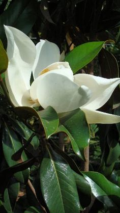 Magnolia Grandiflora - Bull Bay Tree-- I miss these trees in the DC metro area!