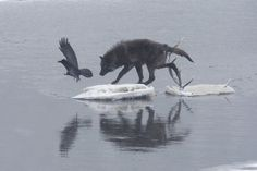 White Wolf : Wolves and Ravens; A Fascinating Relationship (Photos)