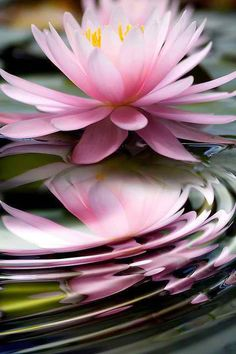 """""""You must be a Lotus, unfolding its petals when the Sun rises in the sky, unaffected by the slush where it is born or even the water which sustains it! Water Garden, Nature Photos, Nature Nature, Planting Flowers, Flowers Garden, Beautiful Flowers, Gardening, Bloom, Landscape"""