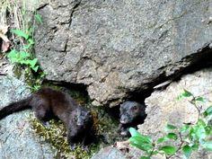 Family of mink in the wild...Skate Creek.
