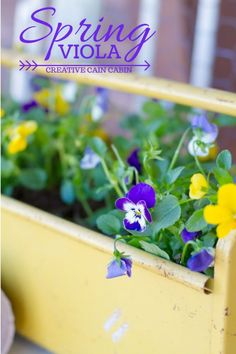 Spring Viola Planted in a Rusty Toolbox