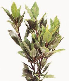 multiplicar laurel http://www.elicriso.it/es/plantas_aromaticas/laurel/