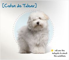 Did you know the  Coton de Tulear was developed on the island of Madagascar and is still the national dog there? Read more about this breed by visiting Petplan pet insurance's Condition Checker!