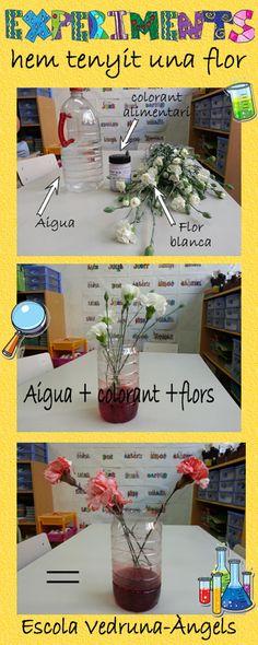 Experiment per nens i nenes deP-5. Tenyir una flor. Material necessari: Aigua, colorant alimentari i una flor blanca.