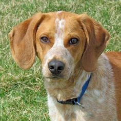 Hi there! I'm Cash! I'm a 2-3 years #EnglishCoonhound #dog, 46 lbs. Outdoors is where I'm meant to be...I love being outside. I love being with you too. So please join in the outside fun. I can be a bit shy & nervous until I'm comfortable with you. I have beautiful red ticking that you'll be proud to show off when you take me for walks. http://www.doggielife.com/cash/dogs/JHJ71D