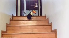 This toucan hopping down a flight of stairs. | 36 Pictures That Prove Birds Are Actually Really Friggin' Cool