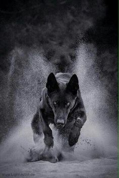 Wicked Training Your German Shepherd Dog Ideas. Mind Blowing Training Your German Shepherd Dog Ideas. Beautiful Dogs, Animals Beautiful, Yorkshire Terrier Puppies, German Shepherd Puppies, German Shepherds, Working Dogs, Dog Photography, Pitbull Terrier, Dog Life