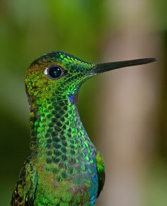 Green crown brillant hummingbird
