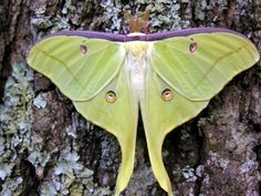 Luna Moth (Actias luna) - simply lovely