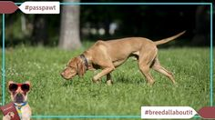 Breed All About It  Dog Breeds starting With V  Vizsla  06/19/2017  Vizsla  Narrator: Love the dog hate the smell? Check out the Vizsla. Thats right. They dont have an odour.  Dr. Karen: Theyre very clean dogs. They dont have that doggy smell.  Narrator: These self-cleaning dogs even lick themselves like a cat. No wonder Vizslas have been the quintessential royal dog for centuries smooth and handsome regal and statuesque. Vizslas are the aristocrats of the dog world.  Speaker: The Vizsla is…