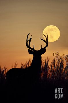White-Tailed Deer (Odocoileus Virginianus) at Harvest Moon, Texas, USA Photographic Print by Larry Ditto at Art.com