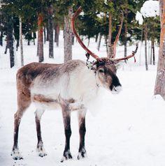 Reindeer in Northern Finland