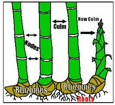 How to grow bamboo; root mass divisions, rhizome cuttings, and culm burial. Growing Bamboo, Growing Plants, Agriculture, Lucky Bamboo Plants, How To Plant Bamboo, Clumping Bamboo, Bamboo Care, Bamboo Structure, Bamboo Crafts