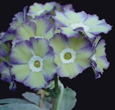 Fancy auricula Betty Wilson