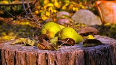 Befruchter für deinen  Birnenbaum - Alle unsere beliebten Birnensorten können sich nicht selbst befruchten und brauchen hierfür eine andere Birnensorte.