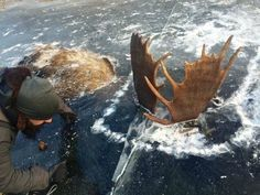 Two Alaska moose clash antlers during a fight before freezing together under the ice . The pair are believed to have drowned after getting entangled during a fight and falling into the water Alaska Northern Lights, Alaska Winter, Bull Moose, Mortal Combat, Western Coast, Frozen In Time, Weird Stories, See Photo, Animals