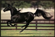 Black horse running. Look how long its tail is!!!