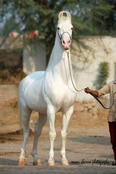 Majestic white Marwari horse projecting elegance and strength. Caballos Marwari, Marwari Horses, Appaloosa Horses, Breyer Horses, Kathiyawadi Horse, Horse Saddles, Horse Love, Horse Halters, Western Saddles