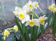 Daffodil Minnow prettying up the garlic tunnel, April Daffodil Bulbs, Daffodils, Household Insects, Buddleja Davidii, Bee Friendly Plants, Natural Insecticide, Chrysanthemum Flower, Christmas Rose, Spring Bulbs