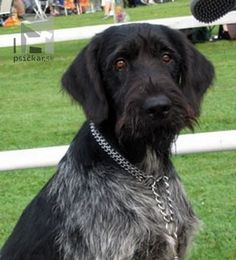 More About German Shorthaired Pointer Puppies Curly Coated Retriever, German Wirehaired Pointer Puppy, Big Dogs, Dogs And Puppies, Braque Du Bourbonnais, Pointer Puppies, Terrier, Dog Runs, Hunting Dogs