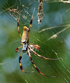 Red-legged Orb Weaver  (Nephila clavipes)-South america