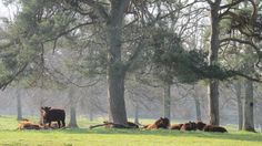 Our herd of Ruby Red Devons in the Parkland.